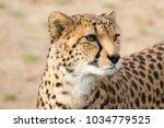 Cheetah  Close Up With A Nice...