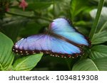 Blue Morpho Butterfly Sitting...