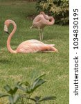 two american flamingos relaxing ... | Shutterstock . vector #1034830195