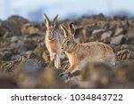 Stock photo european brown hare lepus europaeus 1034843722