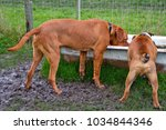 Small photo of Best friends Benson and Leland, a French Mastiff and British Bulldog, share a horse trough bath for a drink, in a muddy field.
