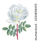 watercolor hand painted rose.  | Shutterstock . vector #1034858455