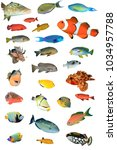 Tropical Reef Fish Isolated White - Fine Art prints