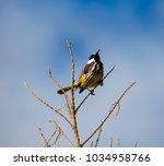 dainty chirpy  little ... | Shutterstock . vector #1034958766