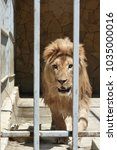 Small photo of adult lion with a mane in a cage. close-up predator.