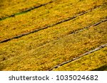 panel of dried tobacco growers... | Shutterstock . vector #1035024682