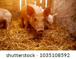 a small piglet in the farm.... | Shutterstock . vector #1035108592