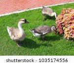 three goose on the grass | Shutterstock . vector #1035174556