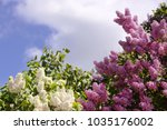 lilac bush on natural... | Shutterstock . vector #1035176002