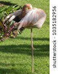 Small photo of american flamingo standing on one leg preening it's wing and feathers