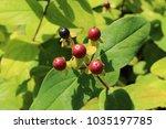 "red ""sweet amber"" flower...   Shutterstock . vector #1035197785"