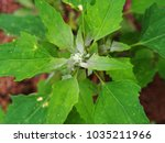 Small photo of Chenopodium album is also called lamb's quarters, melde, goosefoot or fat-hen