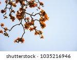 branch of blossoming bombax... | Shutterstock . vector #1035216946