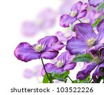 Purple Clematis Flowers On White Background - stock photo