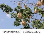 ceiba pentandra tree seed... | Shutterstock . vector #1035226372
