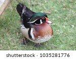 Small photo of Aix galericulata duck