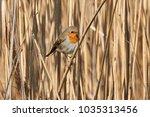 robin bird erithacus rubecula   ... | Shutterstock . vector #1035313456