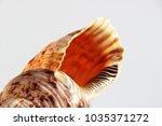 empty shell of sea snail ...   Shutterstock . vector #1035371272