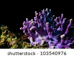 Small photo of A growth of purple hydrocoral (Stylaster californicus) in Southern California.