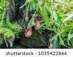 nepenthes. little predatory... | Shutterstock . vector #1035422866