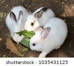 Stock photo three white rabbits 1035431125
