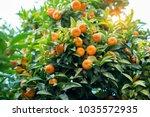 mandarin tree with ripe fruits. ... | Shutterstock . vector #1035572935