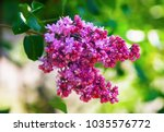 purple lilac blooms. branch of... | Shutterstock . vector #1035576772