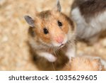 rat pet looking cute  | Shutterstock . vector #1035629605