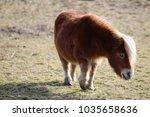 Dartmoor Pony Grazing