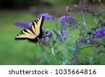yellow monarch butterfly eating ... | Shutterstock . vector #1035664816
