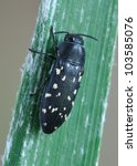 Small photo of Beetle Acmaeodera simulans simulans on a plant