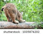 eurasian lynx  lynx lynx  is a...   Shutterstock . vector #1035876202