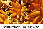 orange sedum succulent | Shutterstock . vector #1035897355