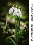 white blossoming snowdrop in... | Shutterstock . vector #1035995938