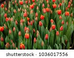 red tulip plantation in the...   Shutterstock . vector #1036017556