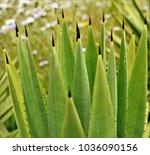 Small photo of The acuminate plants