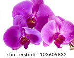 purple orchid isolated on white ... | Shutterstock . vector #103609832