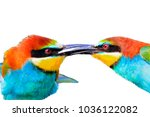 kiss of colored birds isolated... | Shutterstock . vector #1036122082