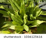 dieffenbachia. green leaves....   Shutterstock . vector #1036125616