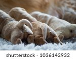 Newborn Puppies Feeding. Golde...