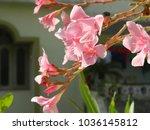 plumeria. delicate pink flowers....   Shutterstock . vector #1036145812
