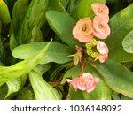 euphorbia milii plant. delicate ...   Shutterstock . vector #1036148092
