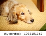 Stock photo dachshund laying down on side looking at viewer with reflection on tatami 1036151362