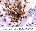 Small photo of Ammi (Latin Ammi) is a small genus of biennial herbaceous plants of the Umbilical family.Seeds.