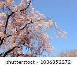 spring in japan  cherry blossoms | Shutterstock . vector #1036352272