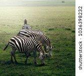 common zebra  equus quagga  ... | Shutterstock . vector #1036398232
