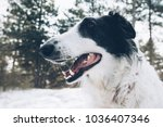 dog dental hygiene. close up... | Shutterstock . vector #1036407346