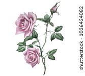 Stock photo pink roses botanical illustration this picture can be used as background decoration or object 1036434082
