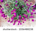 gomphrena globosa  commonly... | Shutterstock . vector #1036488238