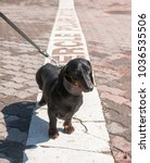 Small photo of Black and tan dachshund on polar circle in Rovaniemi, Finland